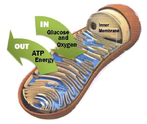 Oxypower improves mitochondrial efficacy